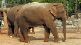 Close-up view of african elephant in zoo stock video footage