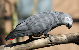 Close-up view of an African grey parrot Royalty Free Stock Image