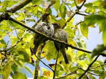 African white eyes preening in a tree