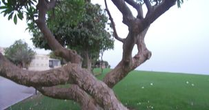 Close up of view amazing trees with green leaves in the garden near to beach amazing background. In Oman muscat beach recorded in 4K stock footage