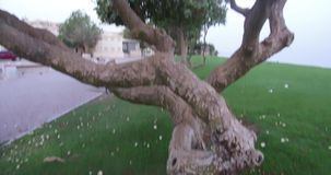 Close up of view amazing trees with green leaves in the garden near to beach amazing background. In Oman muscat beach recorded in 4K stock video footage