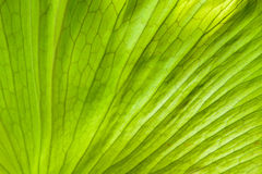 Close up view of andinum fern leaf Platycerium coronarium fern Stock Photo