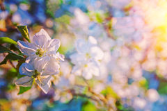 Close up view on appletree flover on blurred background instagra Stock Photo