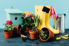 Close up view of arranged rubber boots with flowers, flowerpots, gardening tools, watering can and birdhouse on wooden tabletop. On blue royalty free stock images