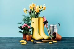 Close up view of arranged rubber boots with flowers, flowerpots, gardening tools on wooden tabletop. On blue stock image