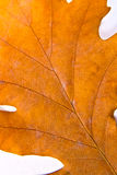 Close up view of autumn oak tree leaf as background Royalty Free Stock Photos