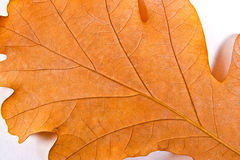 Close up view of autumn oak tree leaf as background Stock Photography