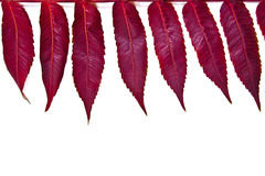 Close up view of autumn red leaf on white background. With clipp Royalty Free Stock Images