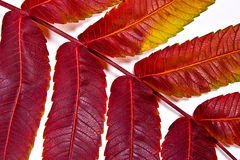 Close up view of autumn red leaf on white background Royalty Free Stock Photos