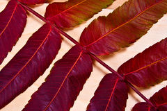 Close up view of autumn red leaf on wooden background Royalty Free Stock Photography