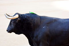 Close-up view of back bull. In arena showing only half party of its body Royalty Free Stock Photography