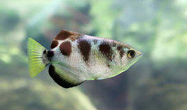 Close-up view of a Banded Archerfish Royalty Free Stock Photos