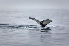 Close up view of battered humpback whale tail desc Royalty Free Stock Image