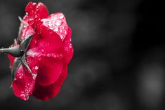 Close-up view of beatiful dark red rose Stock Image