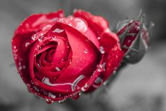 Close-up view of beatiful dark red rose Stock Images
