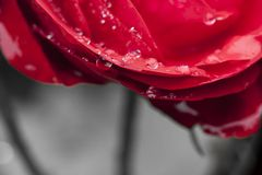 Close-up view of beatiful dark red rose Royalty Free Stock Photos