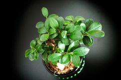 Close up view of a beautiful Bonsai Ficus Ginseng in a black pot royalty free stock photo