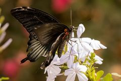 Beautiful butterfly sitting on a flower. A close-up view of a beautiful butterfly sitting on a flower royalty free stock photography