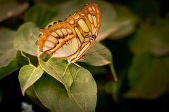Beautiful butterfly sitting on a plant leaf. A close-up view of a beautiful butterfly sitting on a plant leaf stock photography