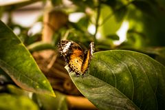 Beautiful butterfly sitting on a plant leaf. A close-up view of a beautiful butterfly sitting on a plant leaf royalty free stock image