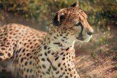 Close up view of beautiful cheetah animal looking away. At zoo stock image
