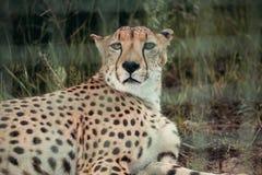 Close up view of beautiful cheetah animal resting on green grass. At zoo royalty free stock photo