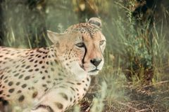 Close up view of beautiful cheetah animal resting on green grass. At zoo royalty free stock images