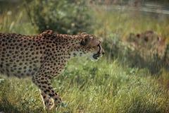 Close up view of beautiful cheetah animal. At zoo stock images