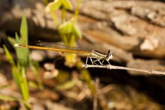 Damselfly insect Royalty Free Stock Images