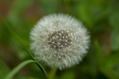 Close up view of beautiful dandelion isolated on green background. Gorgeous  nature backgrounds.  stock images