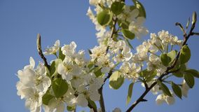 Close up view of  flowered pear stock video