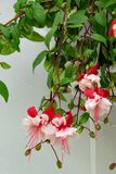 Close up view of beautiful Fuchsia plant. Delicate blossom plant. Close up view of beautiful Fuchsia plant. Delicate blossom apartment plant royalty free stock photo