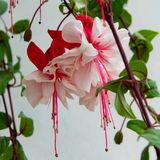 Close up view of beautiful Fuchsia plant. Delicate blossom plant. Close up view of beautiful Fuchsia plant. Delicate blossom apartment plant royalty free stock images