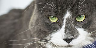 Close up view of beautiful green cat& x27;s eye looking at camera defiantly. Gray and white Angry cat on white background royalty free stock image