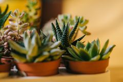 Close-up view of beautiful green potted succulents plants. On yellow Stock Photography