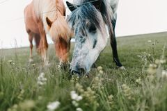 Close-up view of beautiful icelandic horses grazing. On green pasture stock photography
