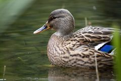 Mallard duck. Close up view of a beautiful mallard duck on a pond Stock Images