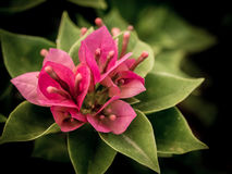 Close up view of a beautiful pink Bougainvillea flower Stock Image