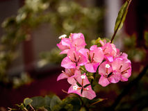 Close up view of a beautiful pink Bougainvillea flower Royalty Free Stock Images