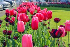 Close-up view of beautiful pink and dark red tulips on green grass at Nyon city flowerbed along road at bright spring summer day. stock photo