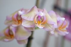 Pink moth orchid Royalty Free Stock Image