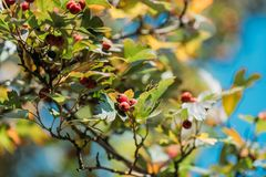 Close-up view of beautiful red berries and leaves on bush. In autumn park royalty free stock image