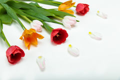 Close-up view of beautiful tender tulips with green leaves and petals. Isolated on white Royalty Free Stock Images