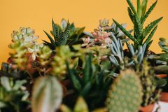 Close-up view of beautiful various green succulents in pots. On yellow Stock Photos