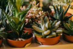 Close-up view of beautiful various green succulents in pots. On yellow Royalty Free Stock Image