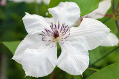Close up view of the beautiful white Clematis flower Royalty Free Stock Images