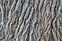 Close up view on beautifully detailed tree bark of oaks and other trees. Found in northern european forests royalty free stock photo
