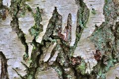 Close up view on beautifully detailed tree bark of oaks and other trees. Found in northern european forests royalty free stock photography