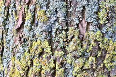 Close up view on beautifully detailed tree bark of oaks and other trees. Found in northern european forests stock photo