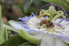 View of a bee on a passiflora, also called passion flower. Close up view of a bee on a passiflora, also called passion flower royalty free stock photos